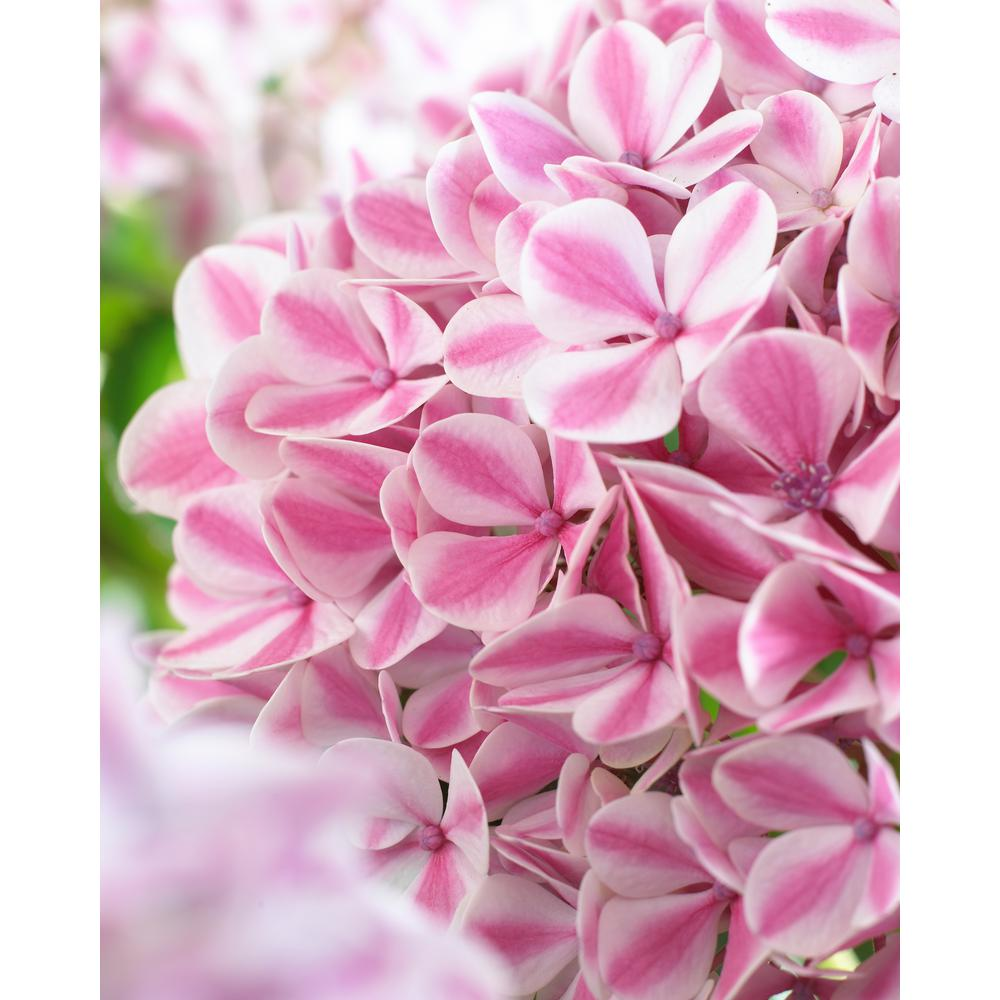 4 in. Pot Forever and Ever Peppermint Hydrangea Live Deciduous Plant White/Pink Flowers with Green Foliage
