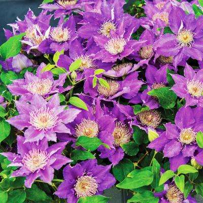 3 In. Pot Bijou Clematis Vine Live Perennial Plant Vine with Purple Flowers (1-Pack)