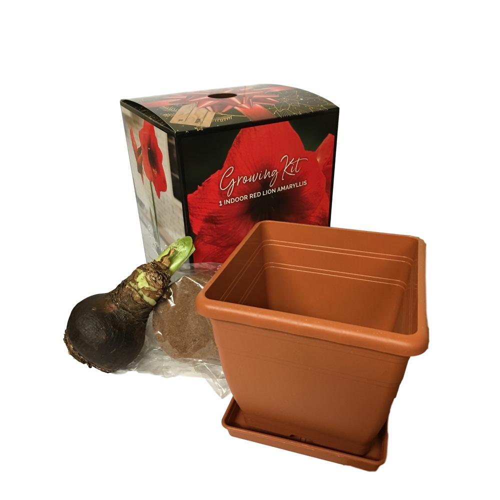 Red Lion Amaryllis Holiday Planting Box Kit