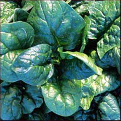 America Spinach, Live Plant, Vegetable, 4.25 in. Grande