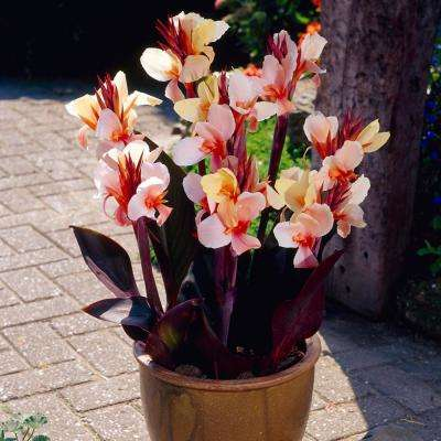 Peach Canna Angel Martin Bulbs (5-Pack)