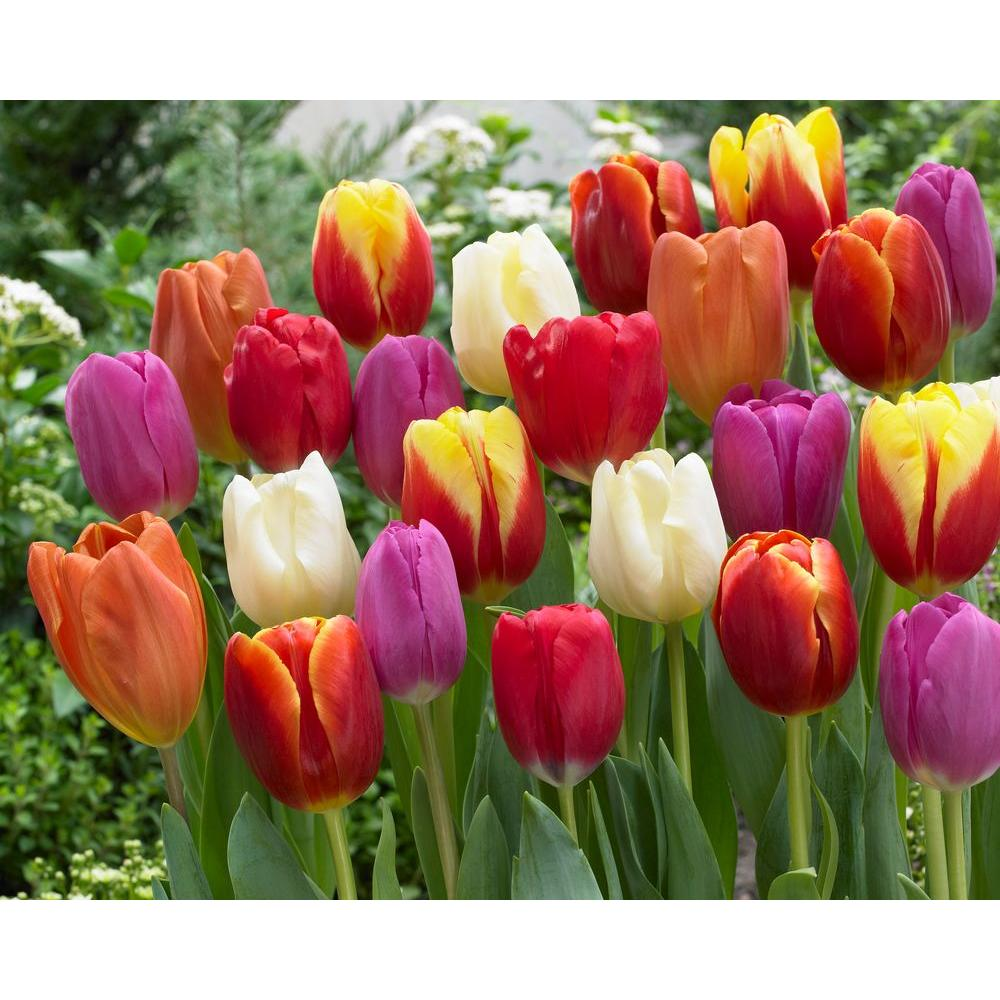 bloomsz Premium Tulip Mix Bulbs (50-Pack)