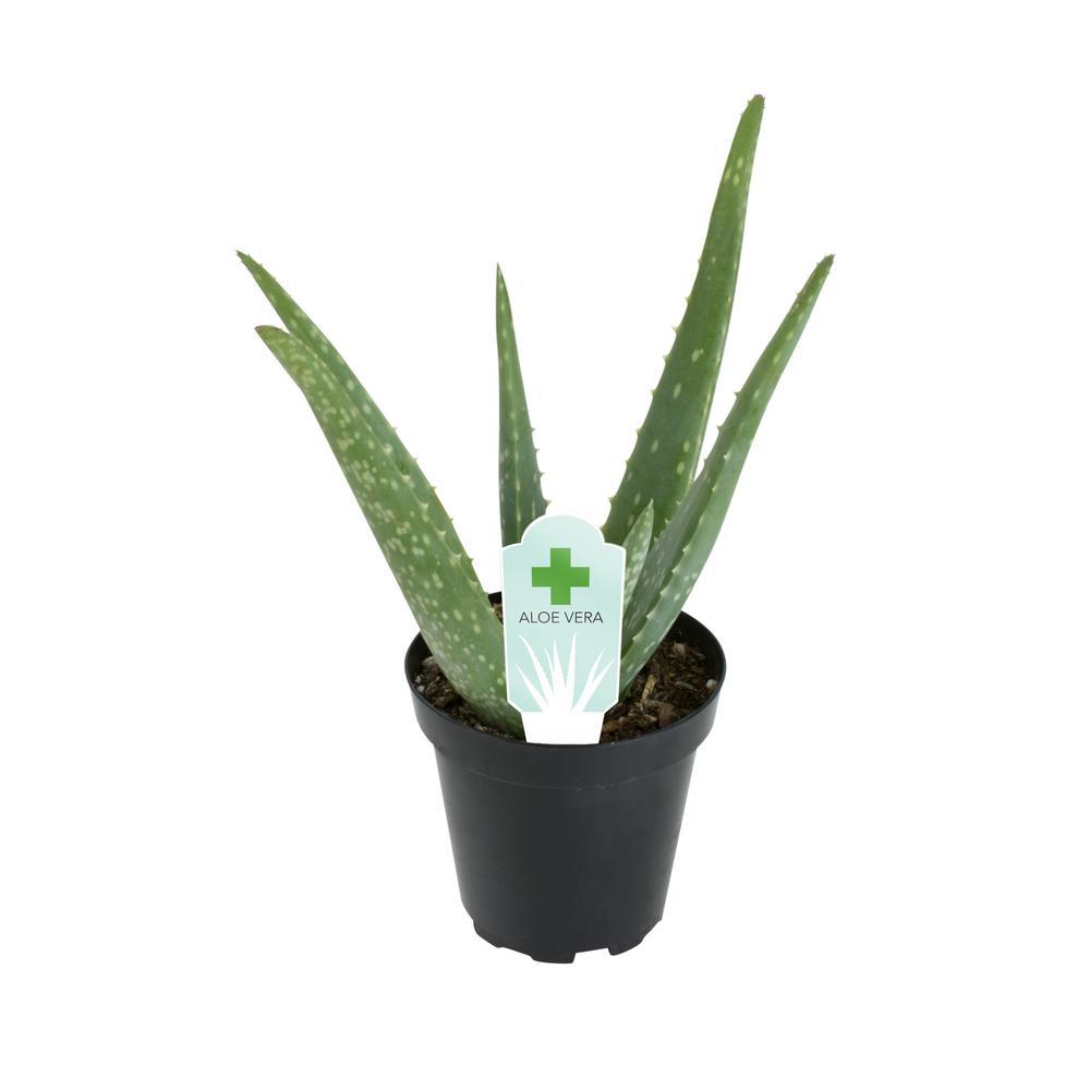 3.5 in. Aloe Vera Plant