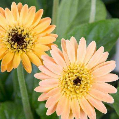 2 Gal. Apricot Drakensberg Daisy With Dark Centered Blooms, Live Perennial Plant