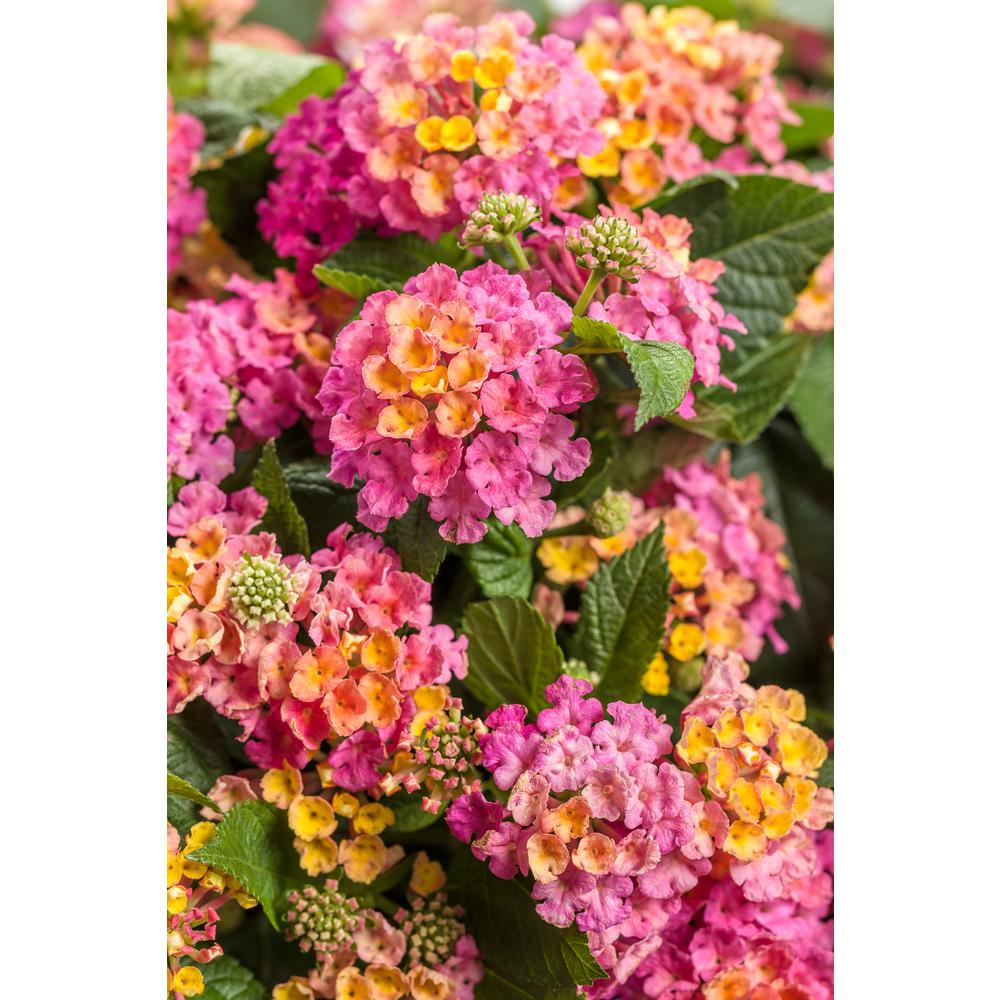 Luscious Royale Cosmo Lantana Live Plant Pink And Orange Flowers 4 25 In Grande Pack
