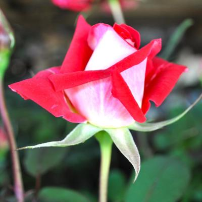 All-Time Favorites LOVE Grandiflora Rose with Red and White Flowers