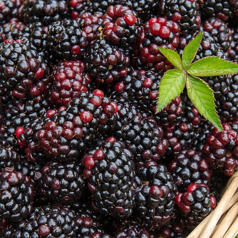 Heaven Can Wait Blackberry Bareroot Plant
