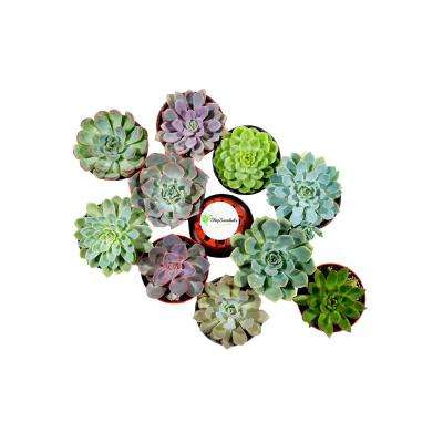 4 in. Rosette Succulent Collection Succulent (Collection of 4)