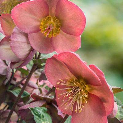 4 in. Pot Pink Flowers Penny's Pink Frostkiss Lenten Rose (Helleborus) Live Potted Perennial Plant (1-Pack)