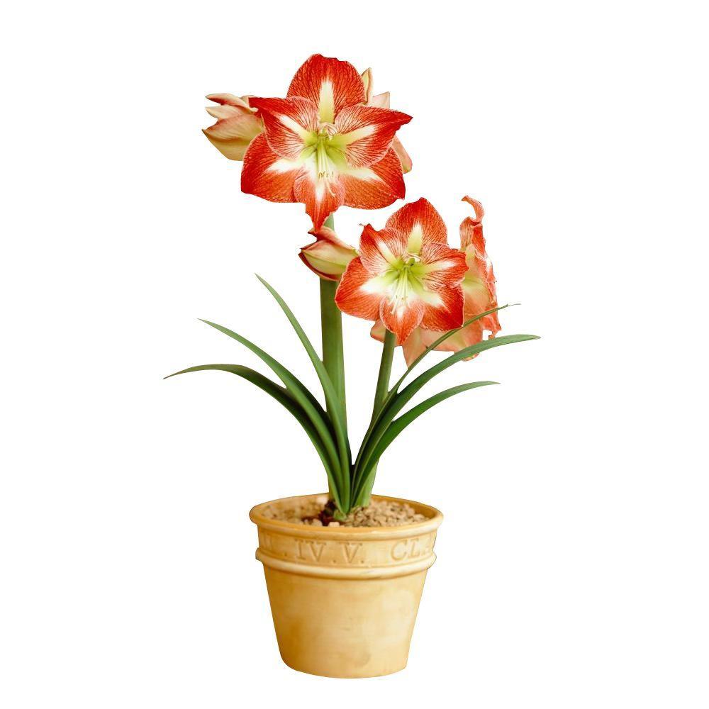 bloomsz 22 cm - 24 cm Economy Minerva Amaryllis Bulb (5-Pack)