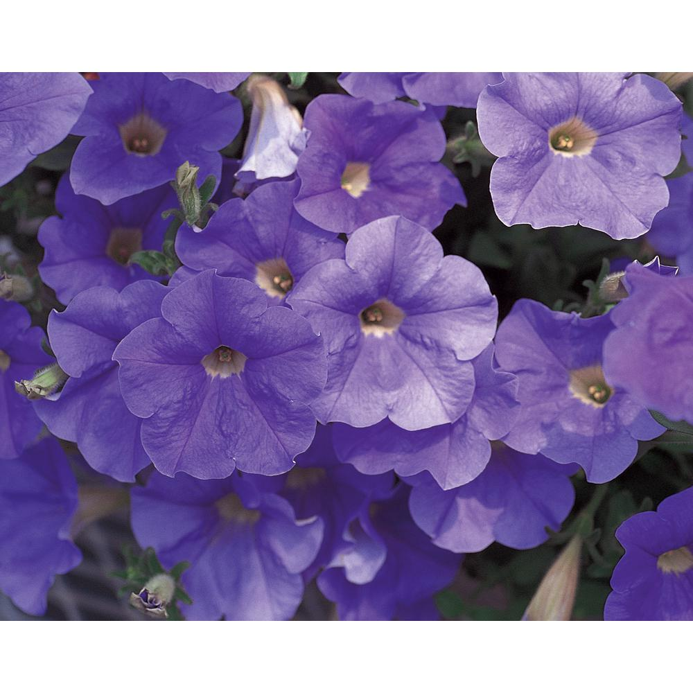 Surfinia Sky Blue (Petunia) Live Plant, Blue-Lavender Flowers, 4.25 in. Grande,