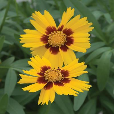 2.5 Qt. SunKiss Yellow and Red Tickseed Plant