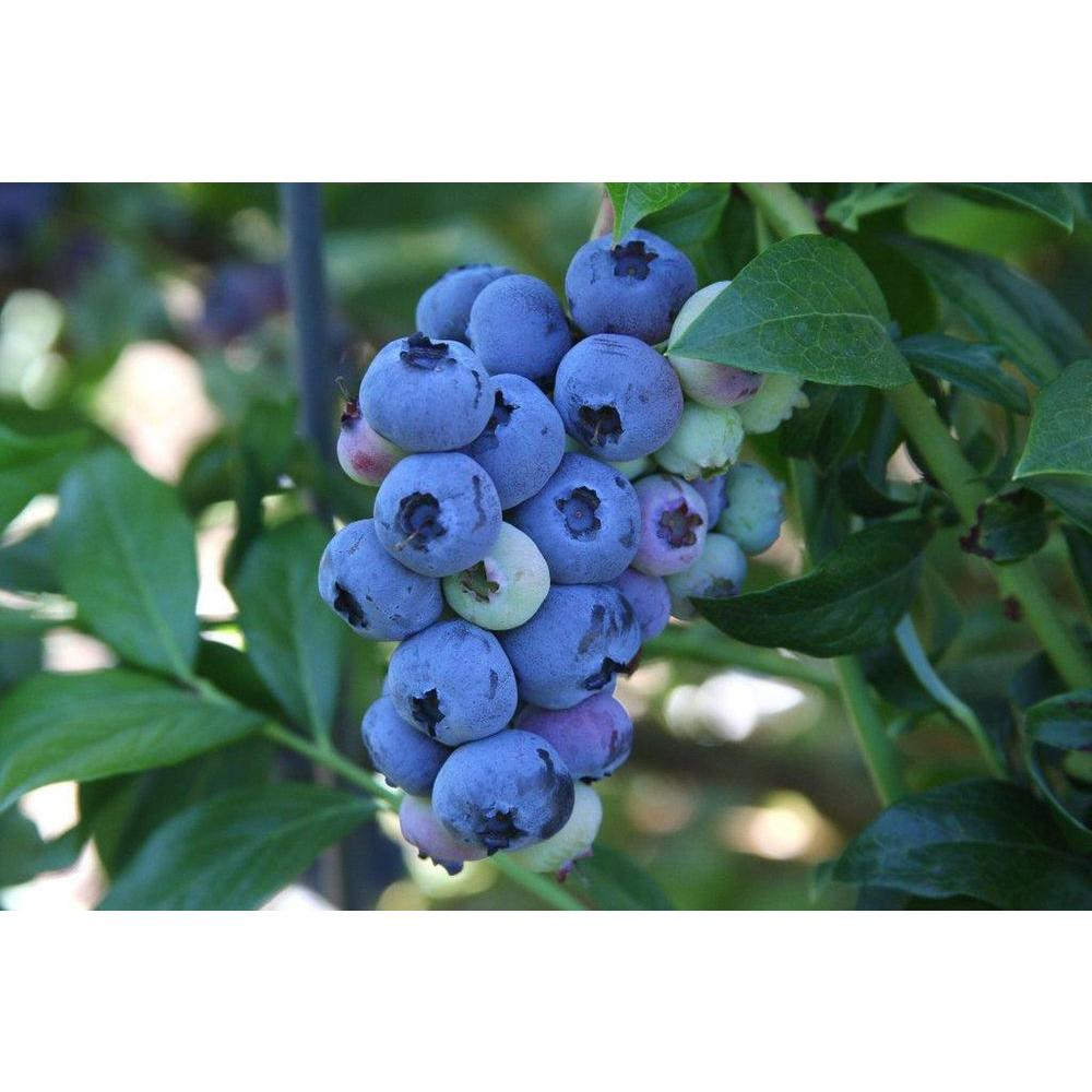 Sweet Berry Selections Blueray Blueberry Fruit Bearing Potted Shrub