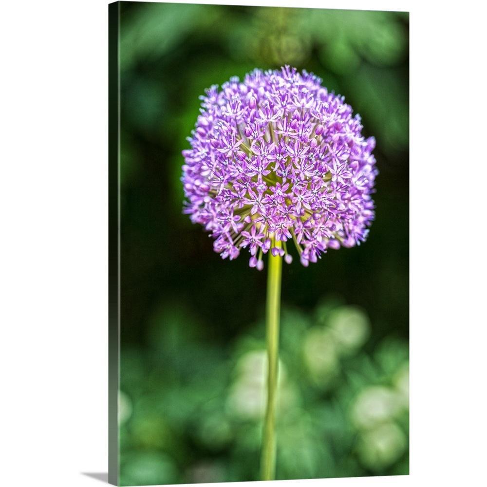 GreatBigCanvas ''Purple Allium'' by Circle Capture Canvas Wall Art 2509438_24_16x24