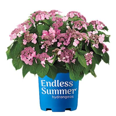 2 Gal. Twist-n-Shout Hydrangea Plant with Pink or Periwinkle Blue Flowers