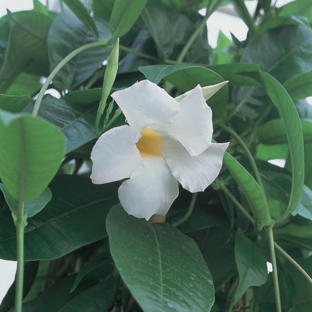 1.7 Gal. White Rocktrumpet Tropical Vine Shrub