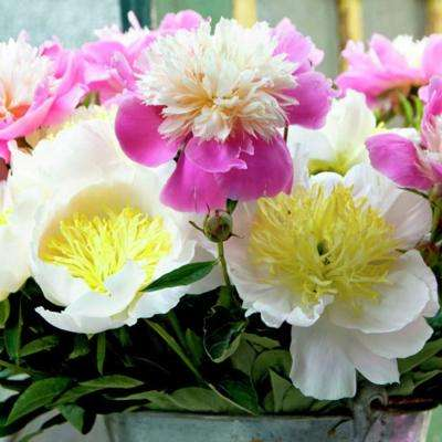 Peonies White and Pink Blend Roots (5-Pack)