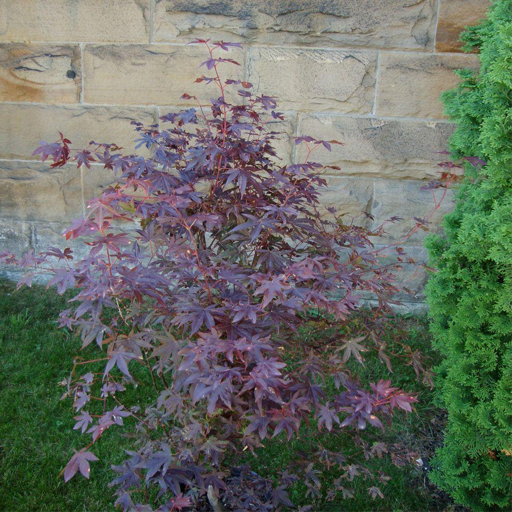 OnlinePlantCenter 1 gal. Bloodgood Red Japanese Maple Tree