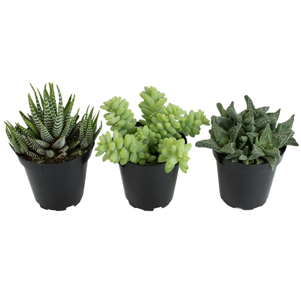 Altman Plants 3.5 in. Trip to the Zoo (3-Pack)