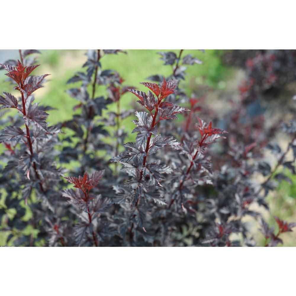 1 Gal. Summer Wine Black Ninebark (Physocarpus) Live Shrub, White Flowers