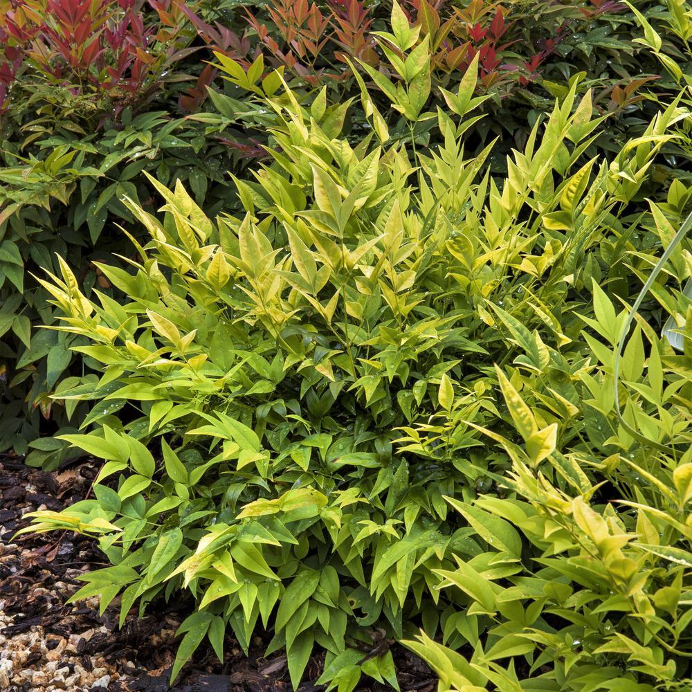 2.5 Qt. Lemon Lime Nandina, Live Evergreen Shrub, Lime Green New Foliage
