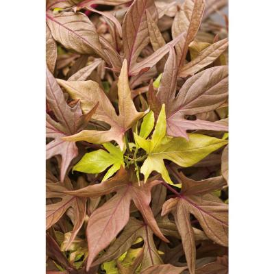 4.25 in. Grande Illusion Garnet Lace Sweet Potato Vine (Ipomoea) Live Plant, Red-Brown Foliage (4-Pack)