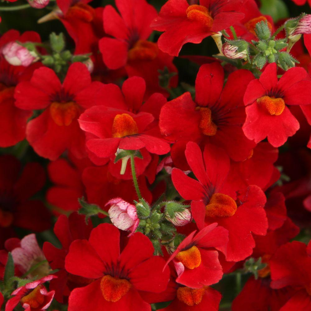 Proven Winners Sunsatia Cranberry (Nemesia) Live Plant, Red Flowers, 4.25 in. Grande