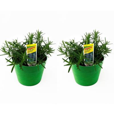 1.5 Qt. Herb Plant Tuscan Rosemary in 6 In. Deco Pot (2-Plants)