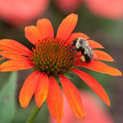 Multi-Colored Flowers Cheyenne Spirit Coneflower (Echinacea), Live Bareroot Perennial Plant (3-Pack)