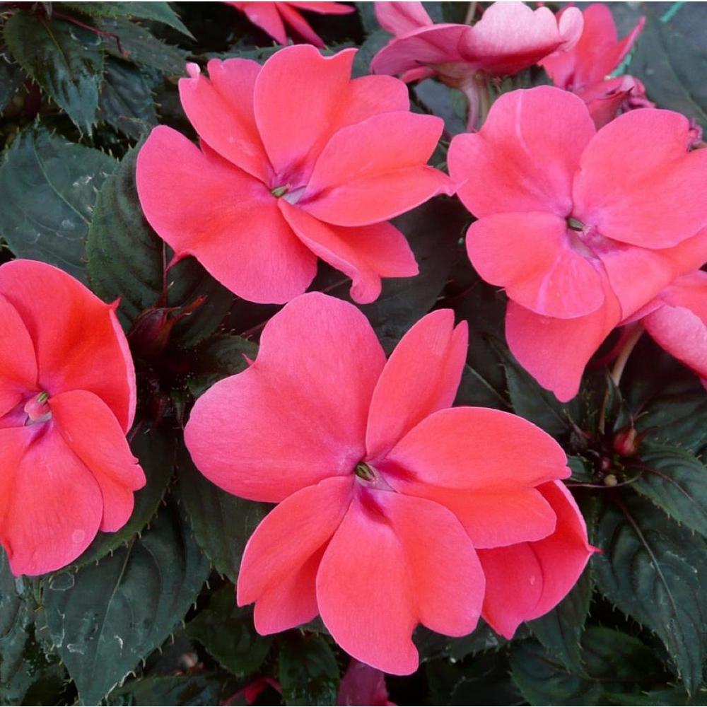 SunPatien Impatien Plant Rose (6-Plants)