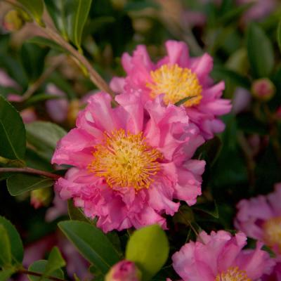 2.5 Qt. October Magic Carpet Camellia Shrub with Frilled Double Pink Autumn Flowers