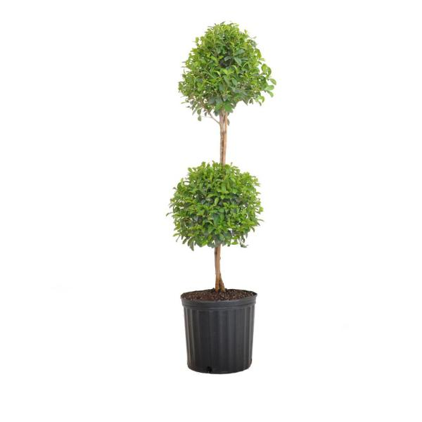 38 in. to 41 in. T Eugenia Topiary Standard Shrub Live Outdoor Euginia Myrtifolia Shipped in 9.25 in. Grower Pot