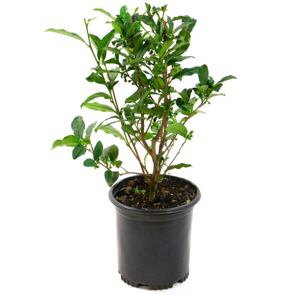 2.5 Qt. Brew-Tea-Ful Camelia Sinensus Plant