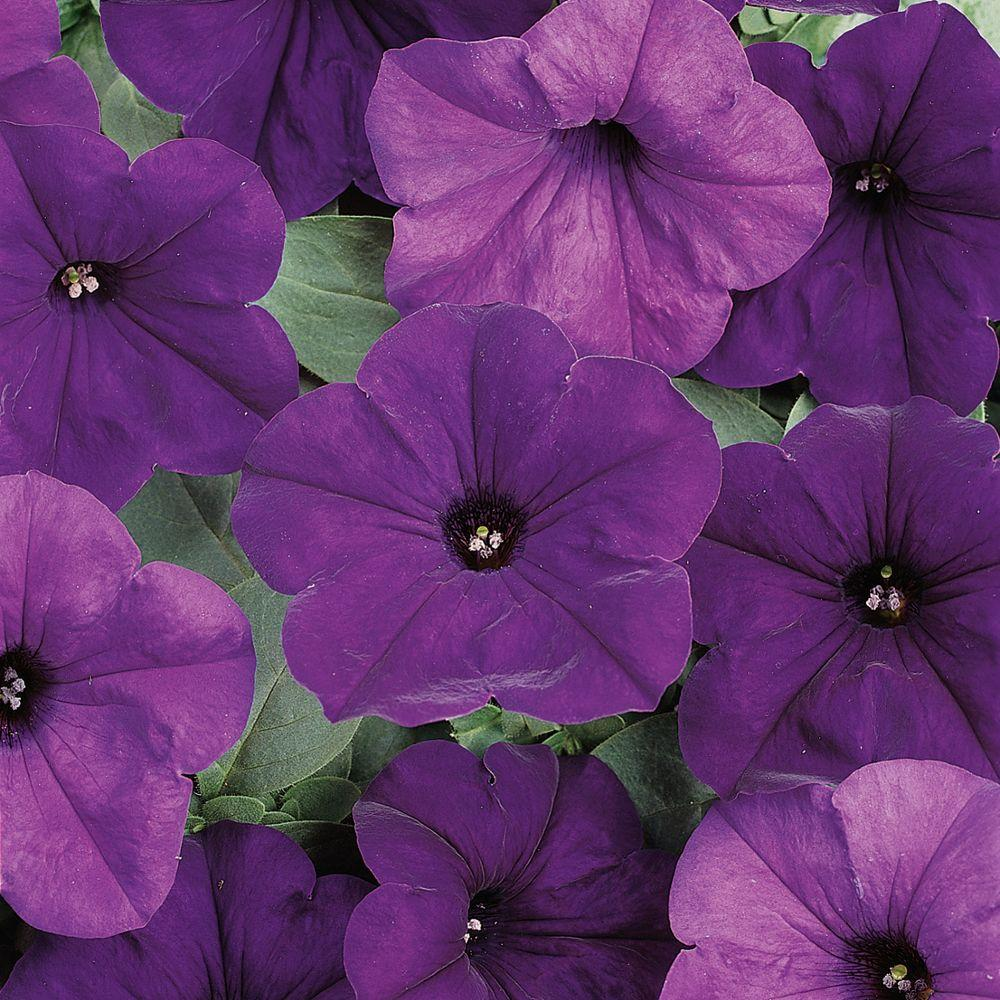 Wave 6 in. Blue Easy Wave Petunia-DISCONTINUED