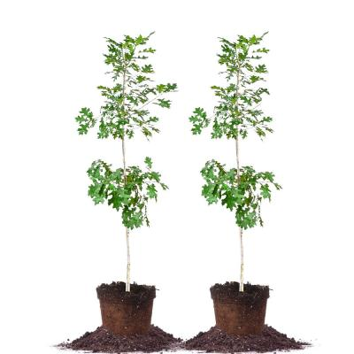 #5 Nuttal Oak Tree (2-Pack)