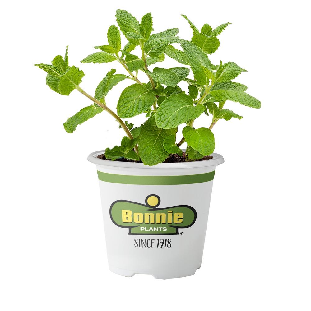 Bonnie Plants 4 5 In Sweet Mint