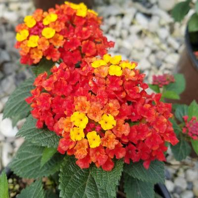 2.5 Qt. Bright Red, Orange and Yellow Reblooming Flower Clusters Firestorm Lantana Live Perennial/Annual Plant