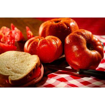 4.25 in. Grande Proven Selections Gino Heirloom Tomato, Live Plant, Vegetable (Pack of 4)