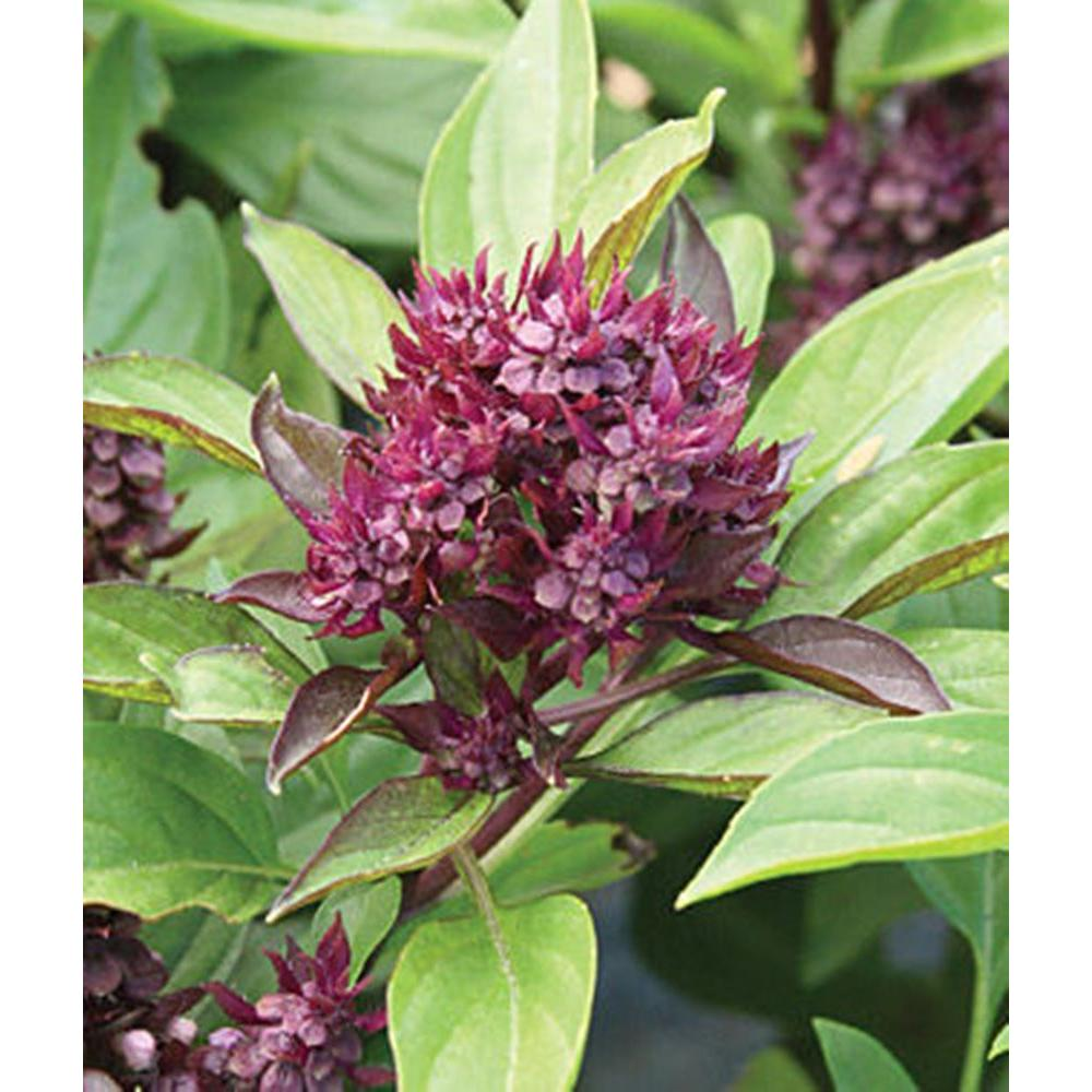 Proven Winners Siam Queen Thai Basil Live Plant Herb 4