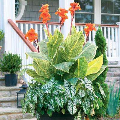 Pretoria Canna/White Christmas Caladium Container Collection (Pack of 14)