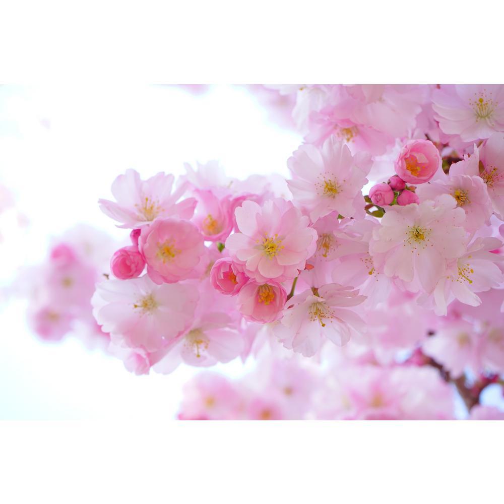 Shirofugen Cherry Blossom Tree