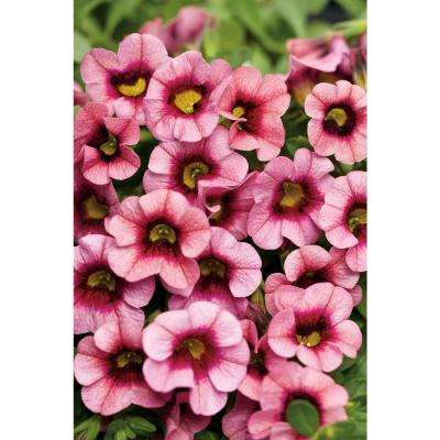 Superbells Strawberry Punch (Calibrachoa) Live Plant, Pink Flowers, 4.25 in. Grande, 4-pack