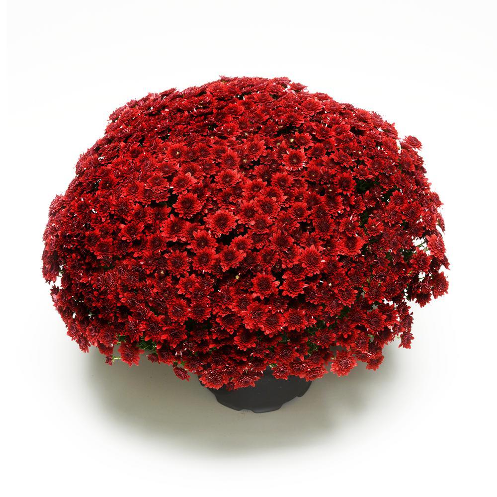 3 Qt. Chrysanthemum (Mum) Plant with Red Flowers