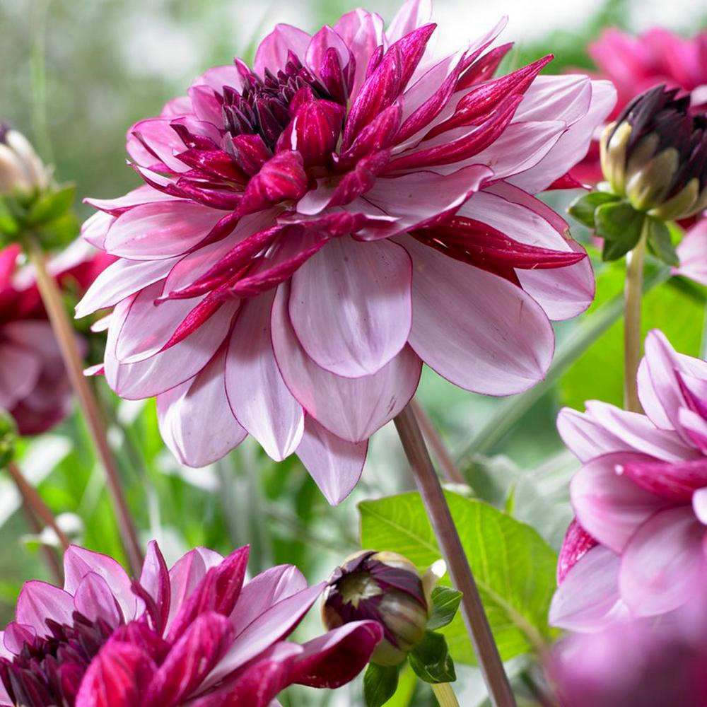 Dahlia flower bulbs garden plants flowers the home depot dahlias creme de cassis bulbs set of 5 izmirmasajfo
