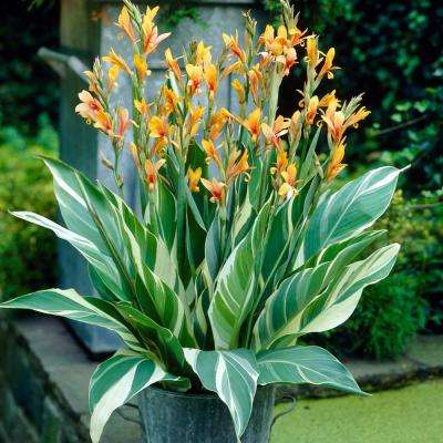 Orange Cannas Stuttgart Bulbs (5-Pack)