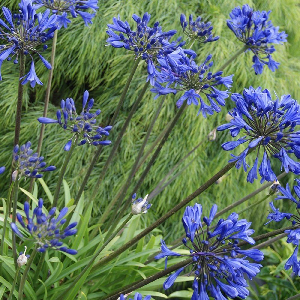 Southern Living Plant Collection 2 5 Qt Little Blue Fountain Agapanthus With Deep Flowers