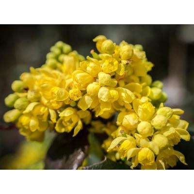 1 Gal. Dwarf Golden Barberry Shrub with Exceptionally Bright Yellow Foliage