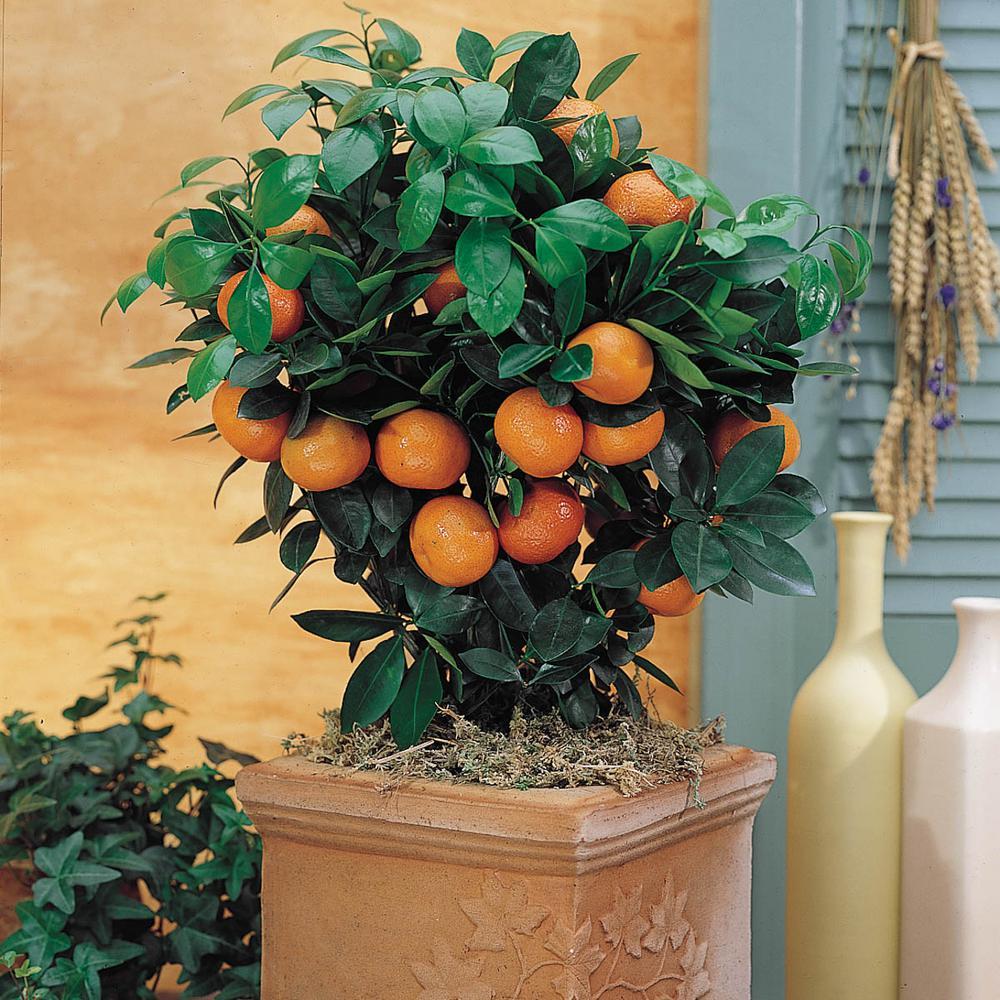 2 in  Pot Calamondin Orange Citrus, Live Potted Tropical Plant, White  Flowers to Orange Fruit (1-Pack)