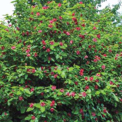 Carolina Allspice Calycanthus Live Bare Root Plant with Red Flowers (1-Pack)