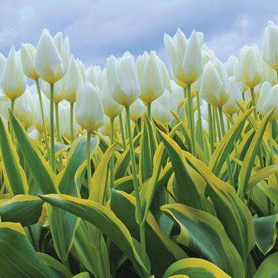 Tulip white flower bulbs garden plants flowers the home depot white tulips purissima blonde 12 pack mightylinksfo